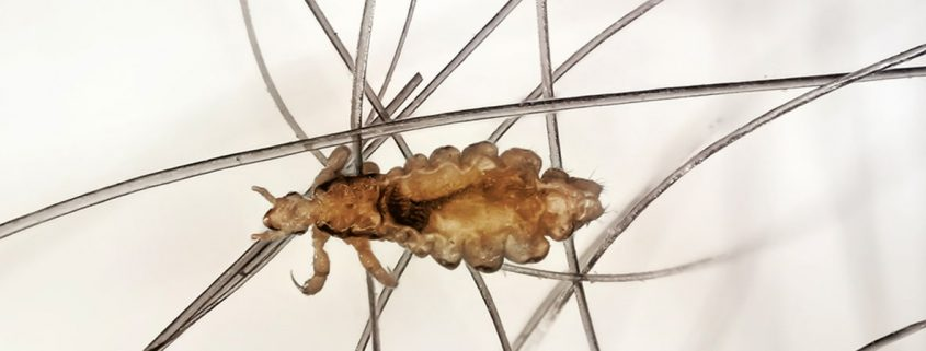 Where do lice really come from?